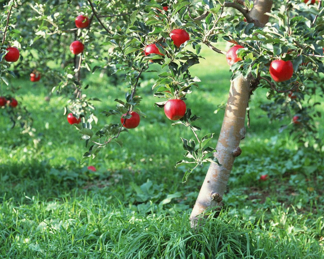 Совместимость плодовых деревьев с другими - «Ваш сад и дача 63